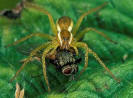 Dolomedes2_small